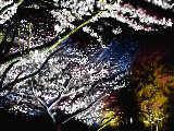 [2009-03-27 13:05:28] 夜桜